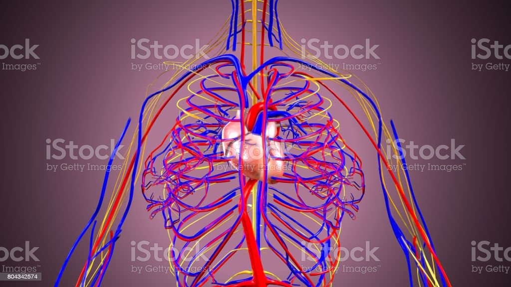 3d illustration of human body heart stock photo