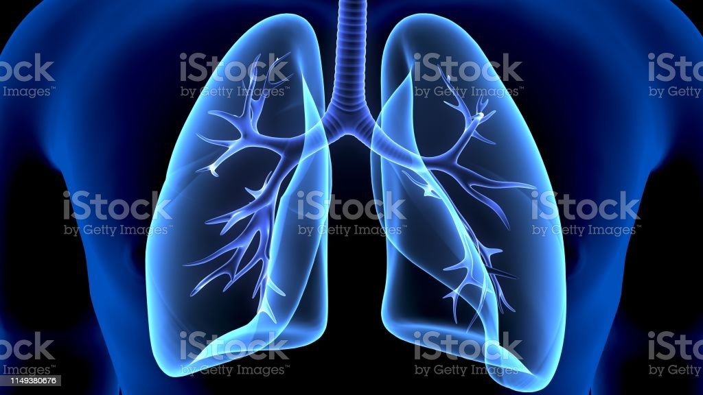 The lungs are the primary organs of the respiratory system in humans...