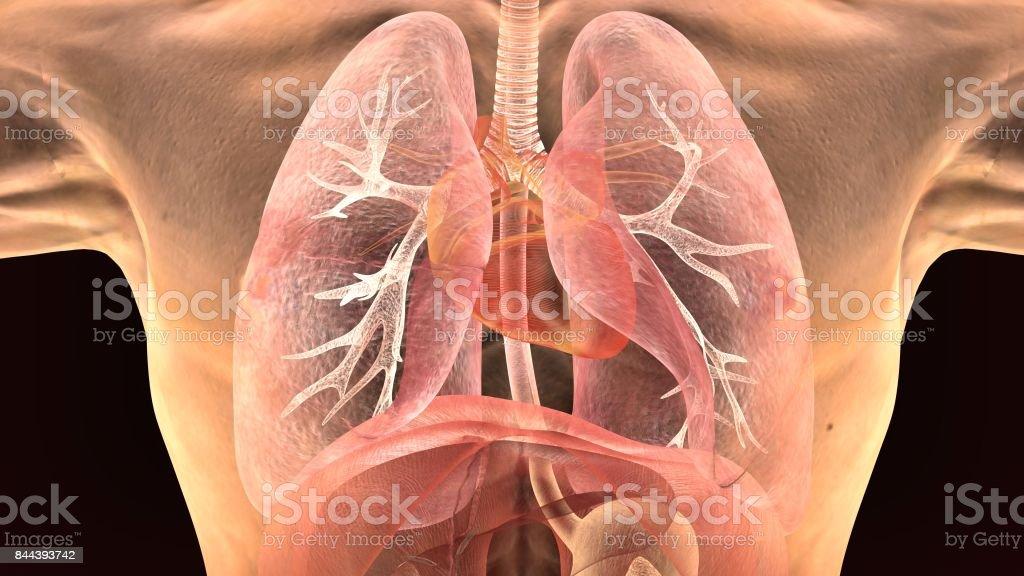 3d Abbildung Des Menschlichen Körpers Lunge Anatomie Stock ...