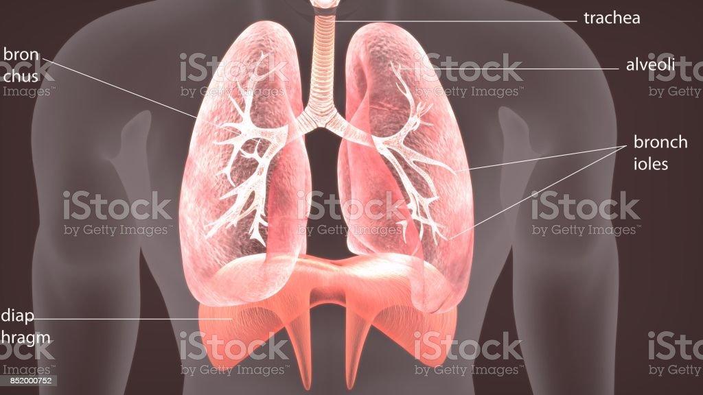 3D Abbildung des menschlichen Körpers Lunge Anatomie – Foto