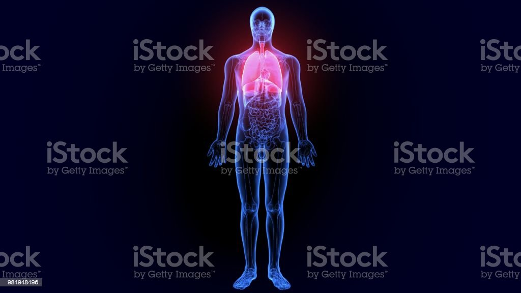 3d illustration of human body lungs anatomy stock photo