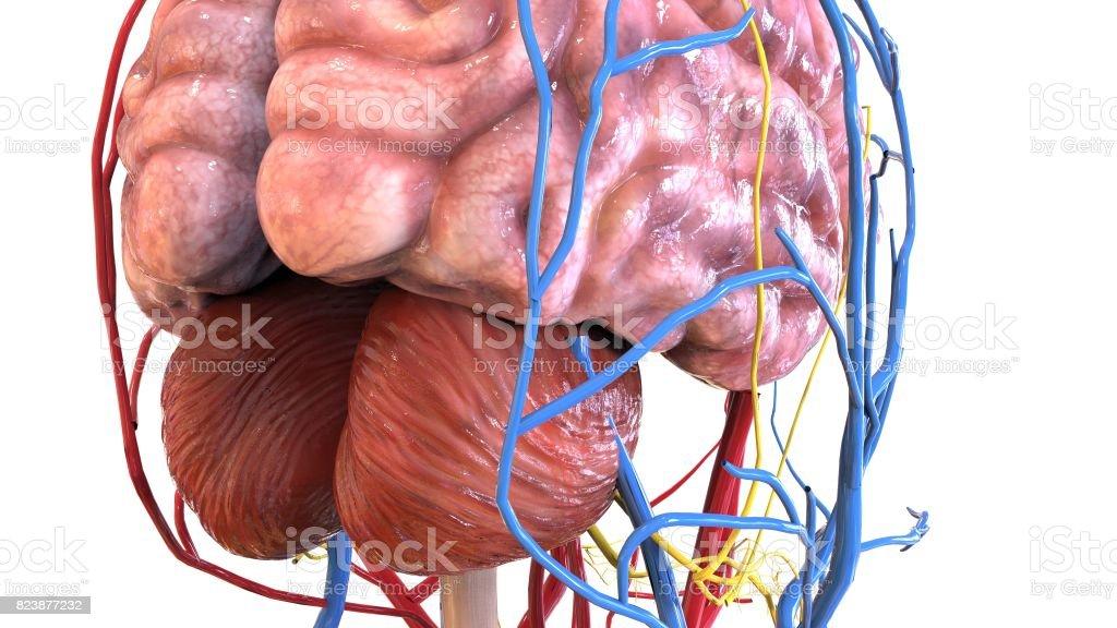 3d Abbildung Des Menschlichen Körpers Orgel Stock-Fotografie und ...