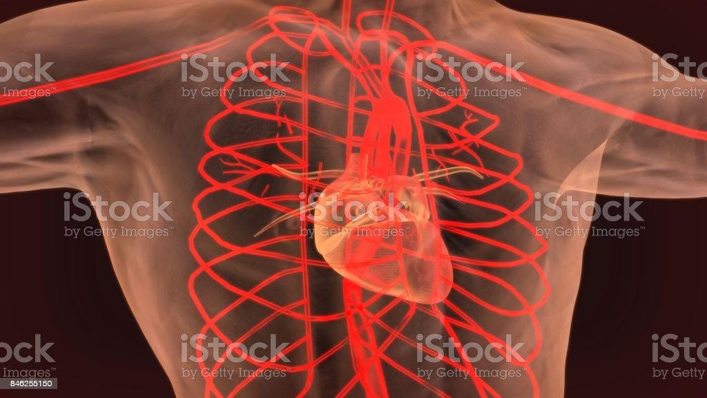 ilustração 3D do órgão do corpo humano (Anatomia do coração) - foto de acervo