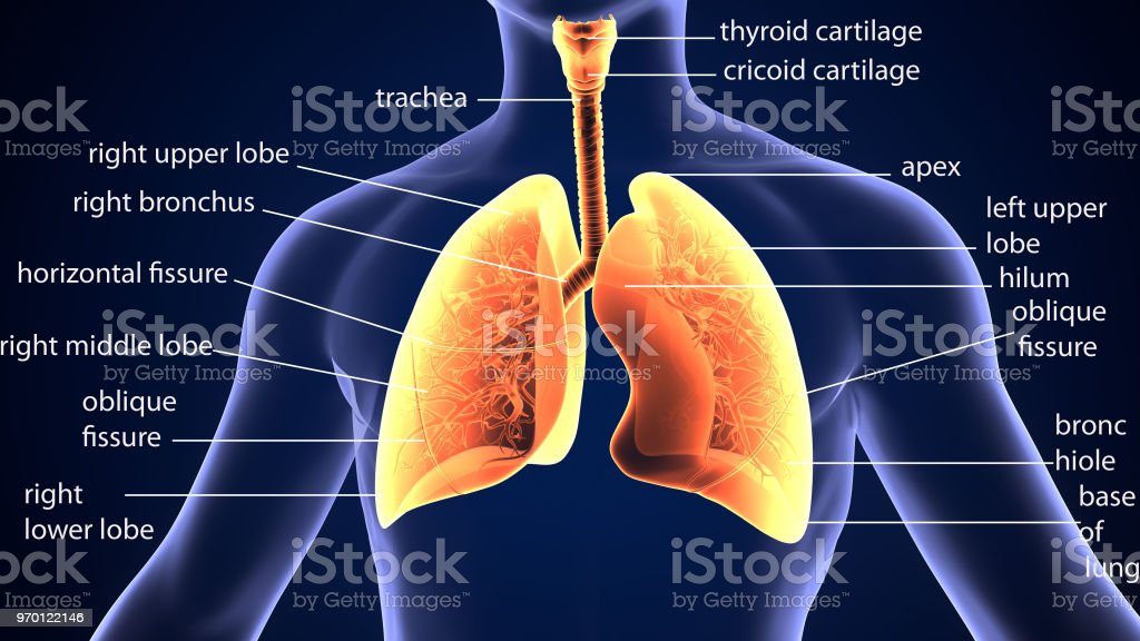 3d illustration of human body organ (lungs anatomy) stock photo