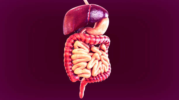 3d illustration of human body organs anatomy - human intestine stock photos and pictures