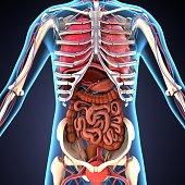 istock 3d illustration of human body organs 887945102