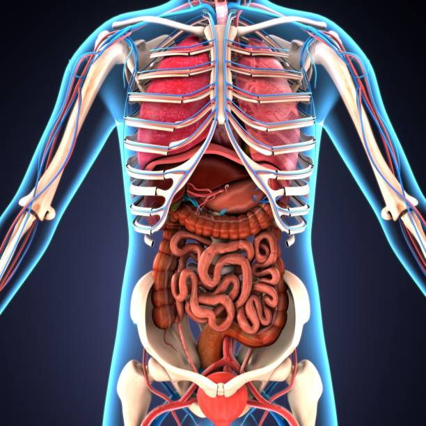 3d illustration of human body organs stock photo