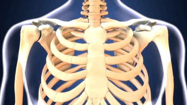 illustration 3d du corps humain anatomie de côtes - sternum photos et images de collection
