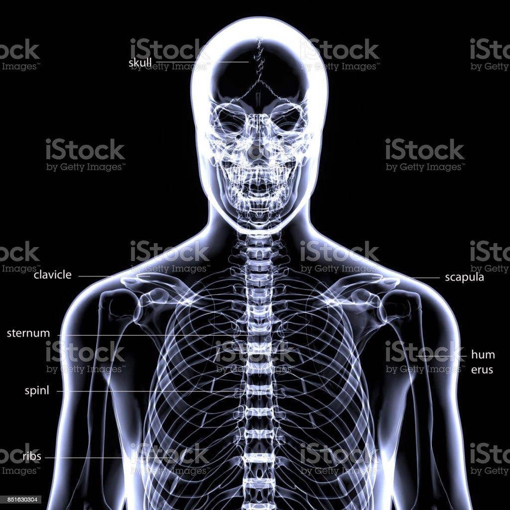 3d Abbildung Des Menschlichen Körpers Skelett Anatomie Stock ...