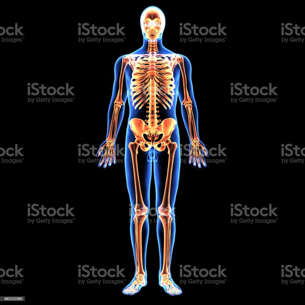 3d Illustration Of Human Body Skeleton Anatomy Stock Photo & More ...