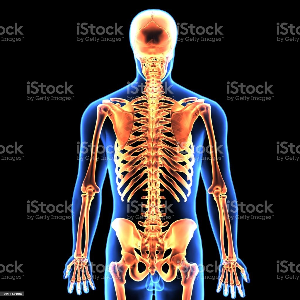 3d Illustration Of Human Body Skeleton Anatomy Stock Photo & More ...