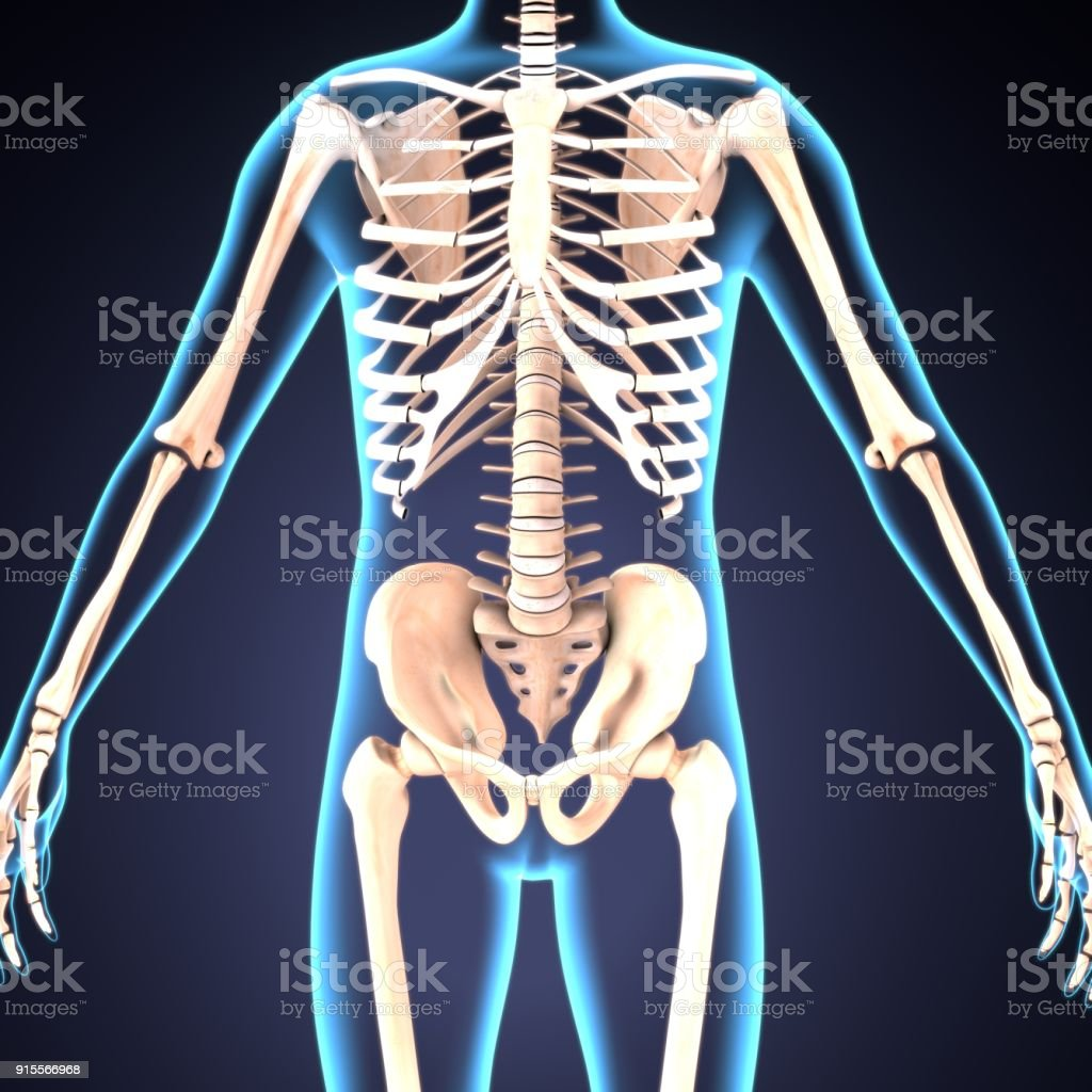 3d Illustration Of Human Body Skeleton Anatomy Stock Photo More