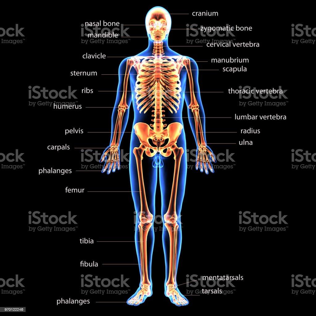 3d Illustration Of Human Body Skeleton Anatomy Stock Photo