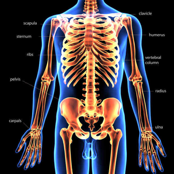 Royalty Free Human Torso Anatomy Pictures Images And Stock Photos
