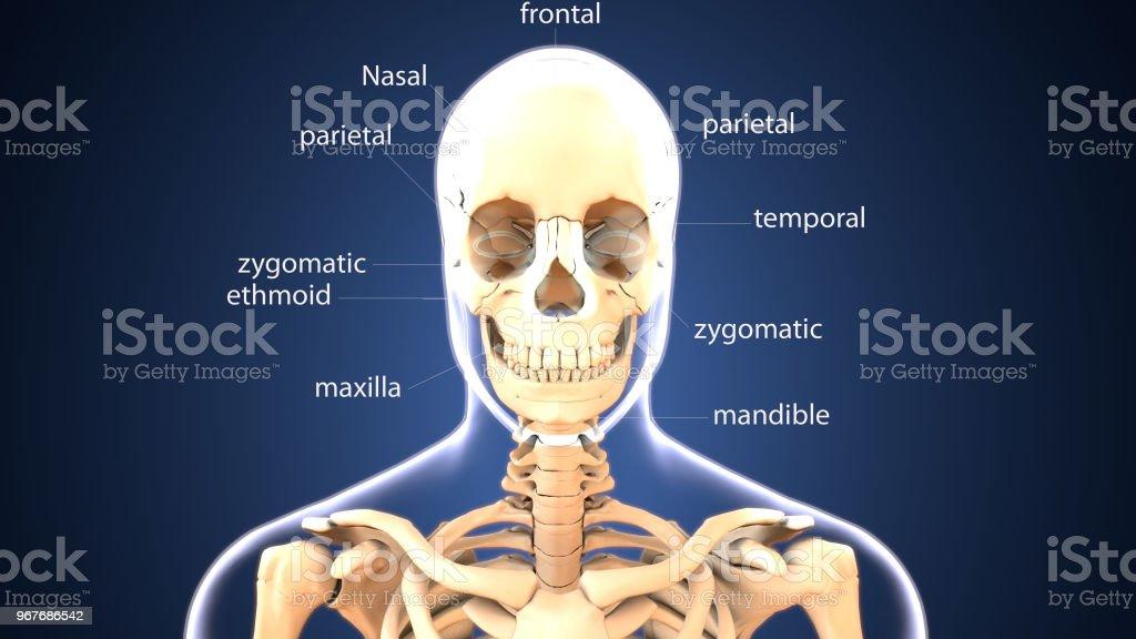 Fotografía de Ilustración 3d De La Anatomía De Cráneo Esqueleto ...