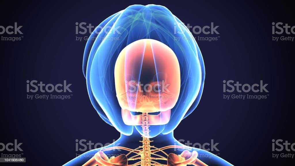 The skull is a bony structure that forms the head in vertebrates. It...