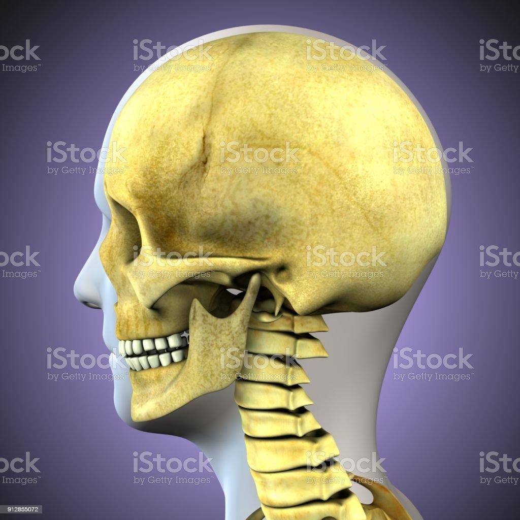 Fotografía de Ilustración 3d De La Anatomía Del Cráneo De Cuerpo ...