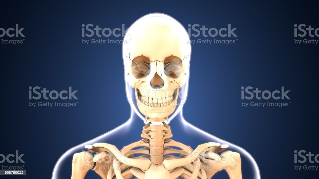 3d Illustration Of Human Body Skull Anatomy Stock Photo More