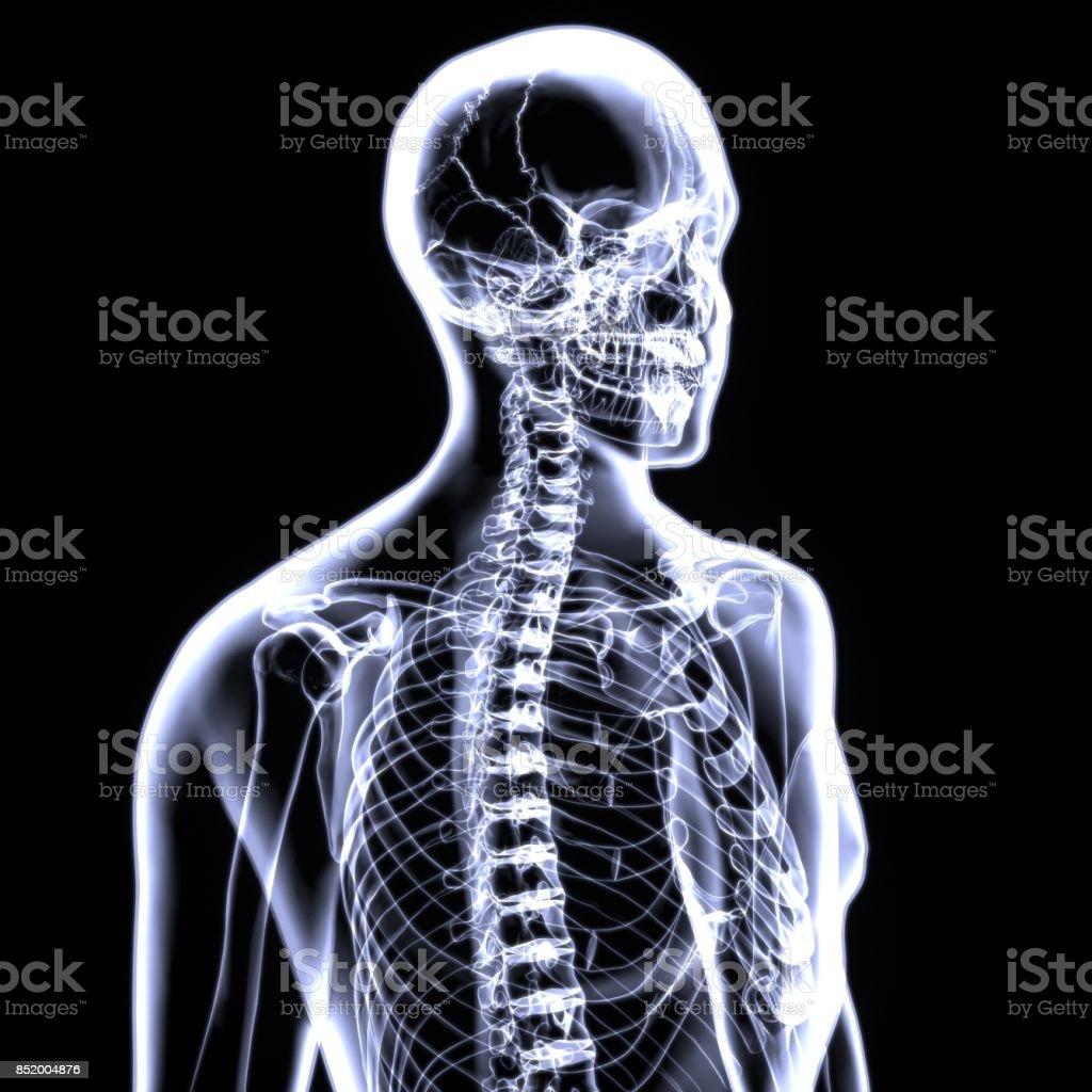 3d Illustration Of Human Body Spinal Bone Anatomy Stock