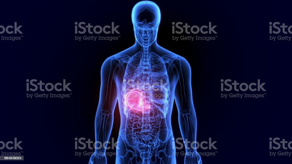 3d Illustration Of Human Body Stomach Anatomy Stock Photo More