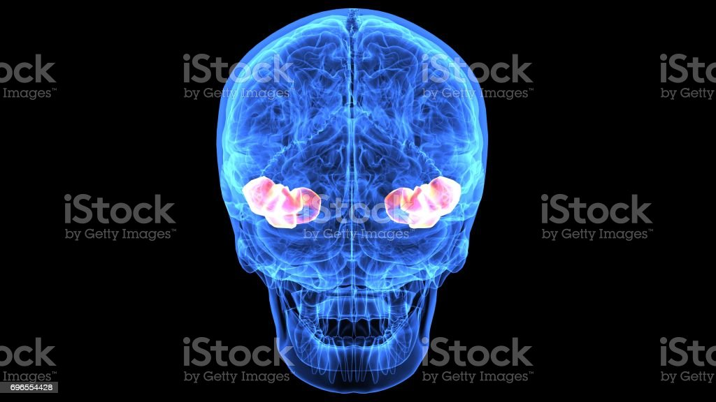 3d Illustration Of Human Brain Anatomy Parts Stock Photo & More ...