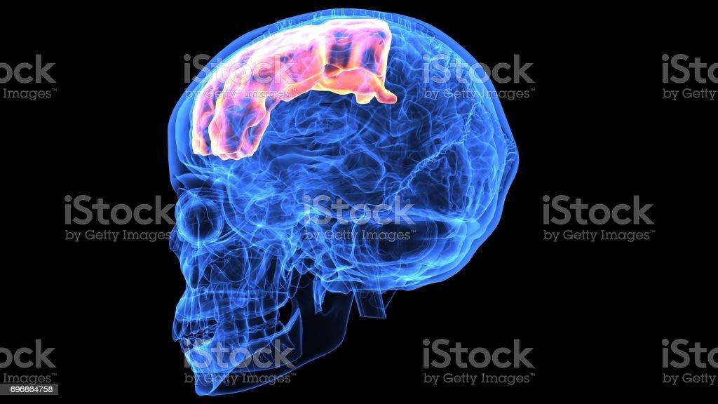 Fotografía de Ilustración 3d De Piezas De Anatomía Del Cerebro ...