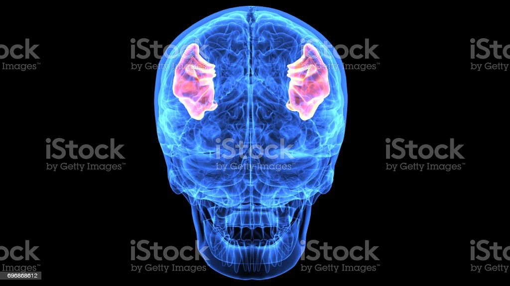 Ilustración 3d De Piezas De Anatomía Del Cerebro Humano - Fotografía ...