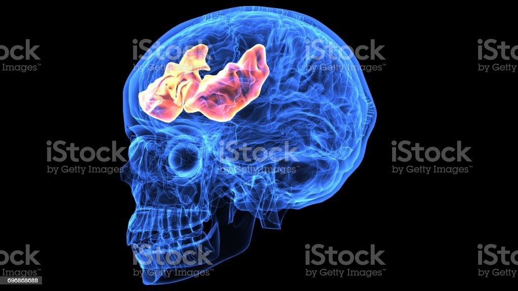 3d illustration of human brain anatomy parts stock photo