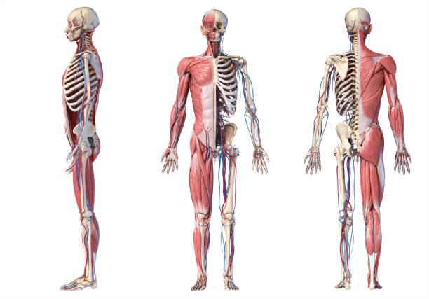 3d Illustration of Human full body skeleton with muscles, veins and arteries. Human Anatomy full body skeletal, muscular and cardiovascular systems. Three views, side, front, back, on white background. 3d Illustration cartilage stock pictures, royalty-free photos & images