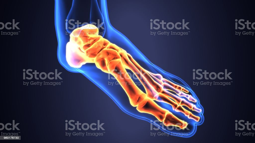 3d Illustration Of Human Skeleton Foot Bone Anatomy Stock Photo