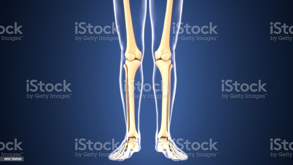 3d Illustration Of Human Skeleton Leg Bones Anatomy Stock Photo