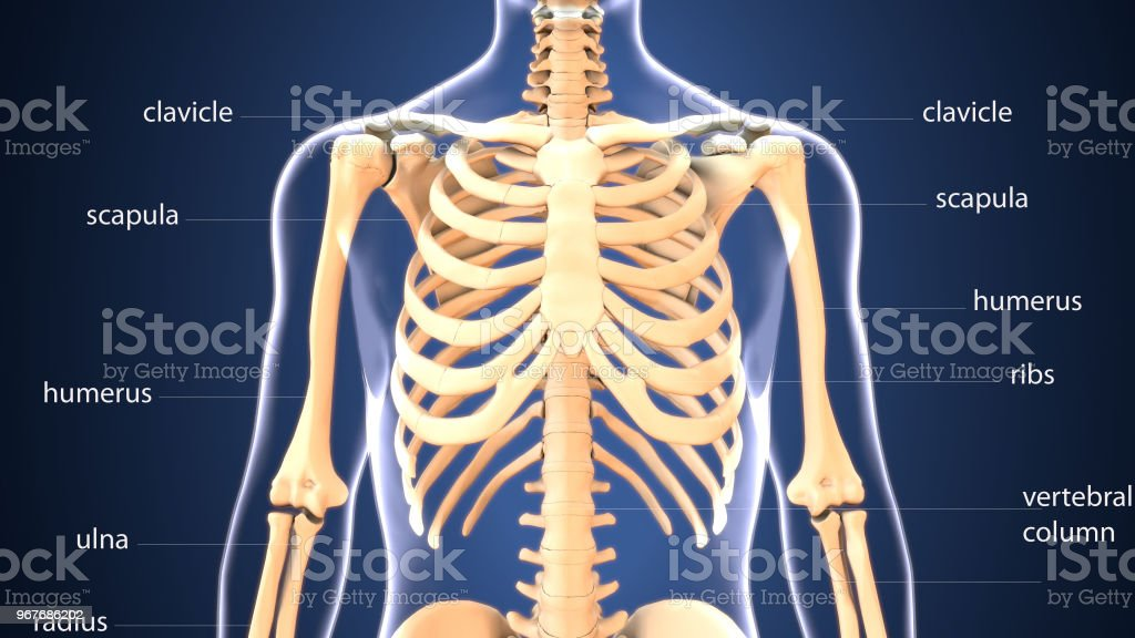 3d Illustration Of Human Skeleton Ribs Anatomy Stock Photo More