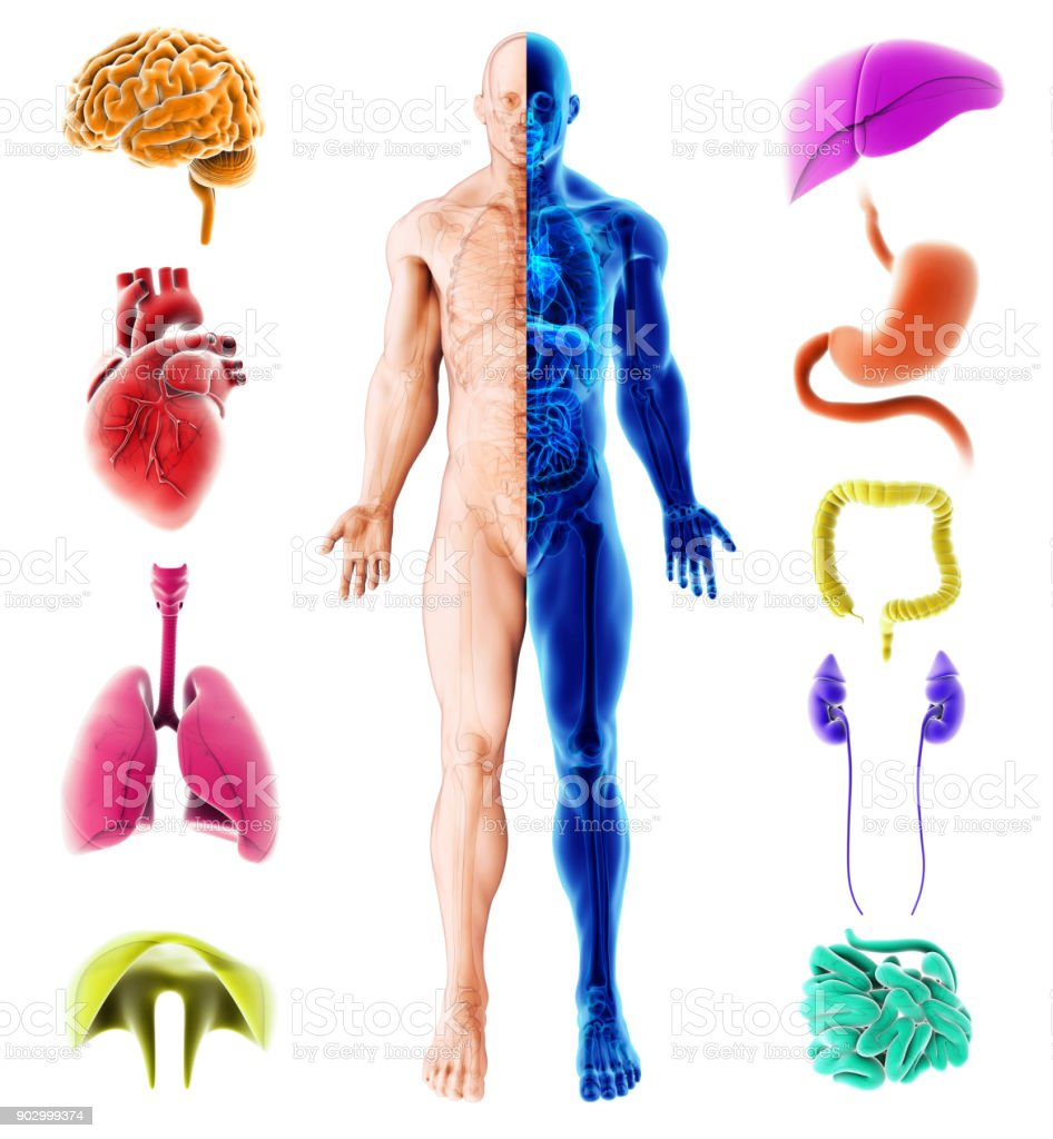 3d Illustration Of Internal Organs Human Medical Infographic Design