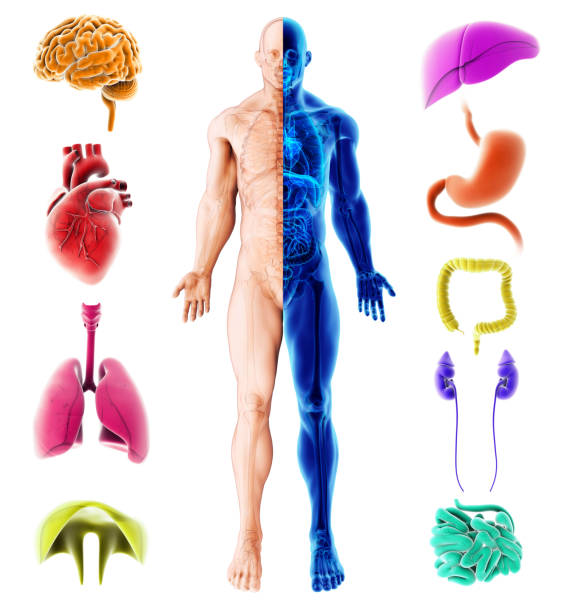 3d illustration of internal organs human, Medical infographic design. stock photo