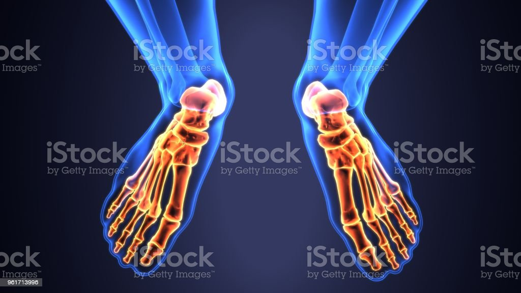 3d Illustration Of Skeleton Foot Bone Anatomy Stock Photo More