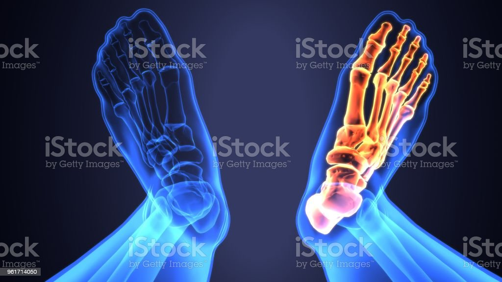 3d Illustration Of Skeleton Foot Bone Anatomy Stock Photo & More ...
