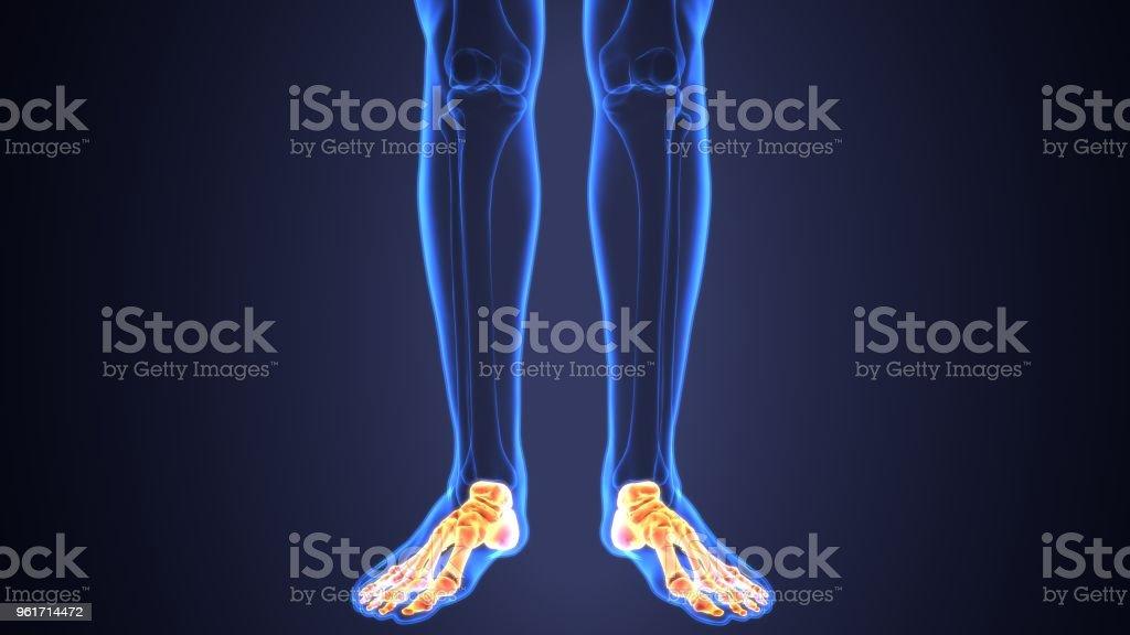 3d Darstellung Der Anatomie Des Skeletts Fußes Knochen Stock ...
