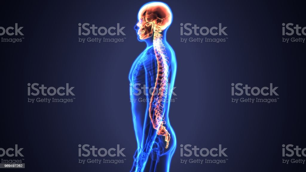 3d illustration of Skull With Spinal Cord Anatomy stock photo