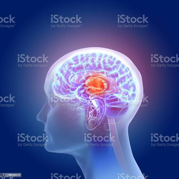 3d illustration of the human brain anatomy picture id1125856520?b=1&k=6&m=1125856520&s=612x612&h=ioxebgr9qduj3guylhdmitxwti7jtoqxdlxqynt4sac=