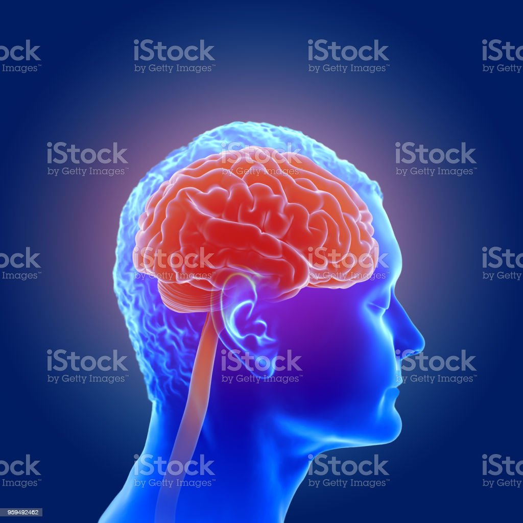 3d illustration of the human brain anatomy stock photo