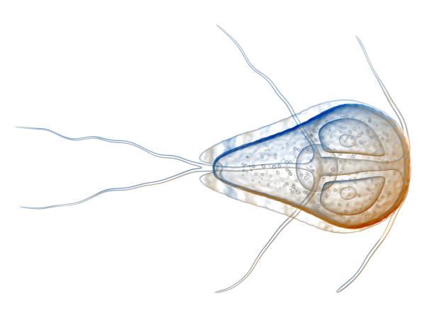 3d Illustration of the protozoan 3d Illustration of the protozoan, Giardia lamblia isolated on white protozoan stock pictures, royalty-free photos & images