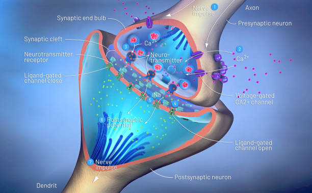 3d illustration of the scientific function of a synapse or neuronal connection with a nerve cell 3d illustration of the scientific function of a synapse or neuronal connection with a nerve cell neurotransmitter stock pictures, royalty-free photos & images
