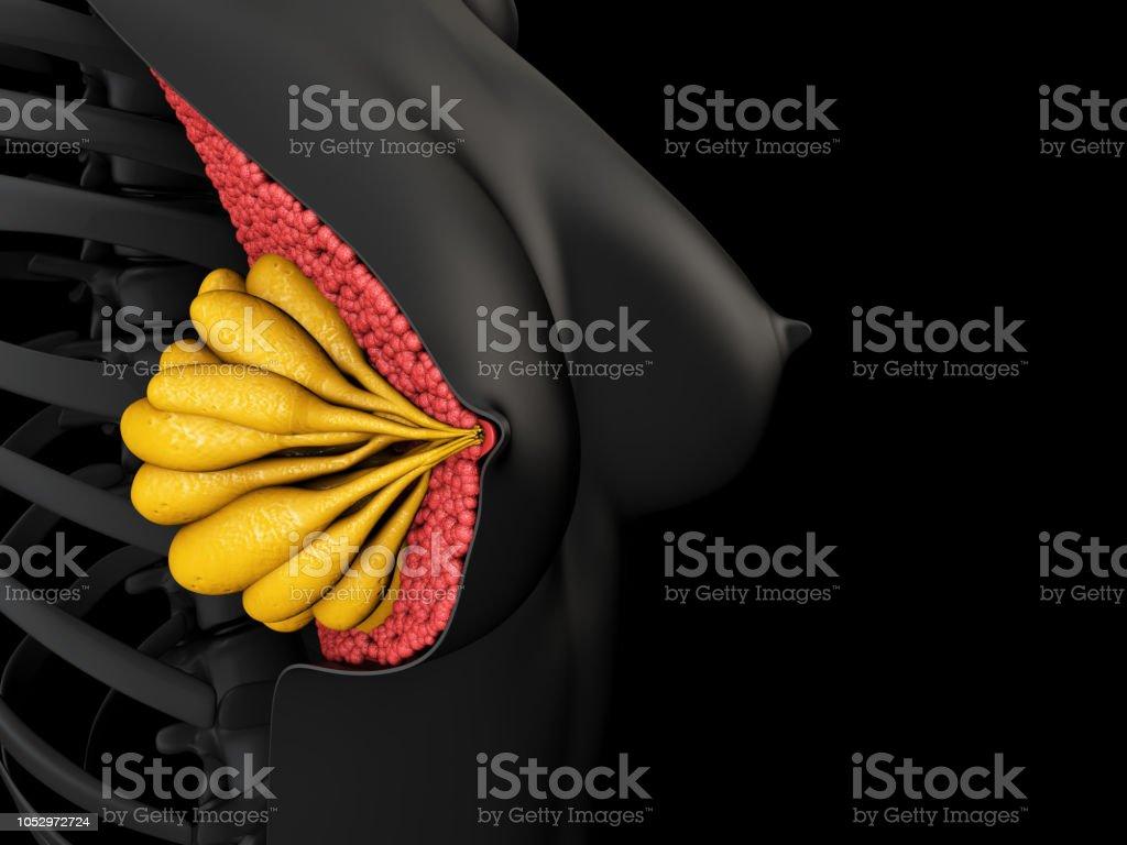 ilustração 3D mostrando a anatomia da mama feminina - foto de acervo
