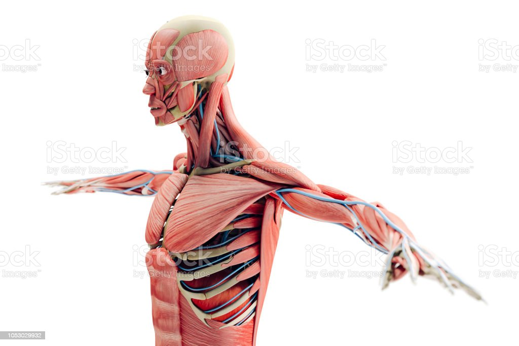 3d Man Render Anatomy Showing Skeleton And Muscular System Stock