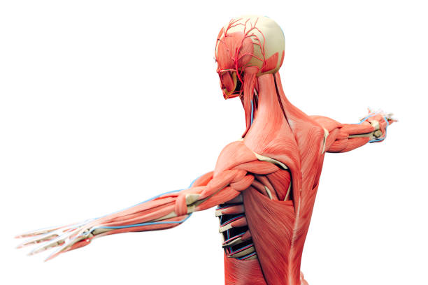 3d man render,  anatomy showing skeleton and muscular system - osso umano foto e immagini stock