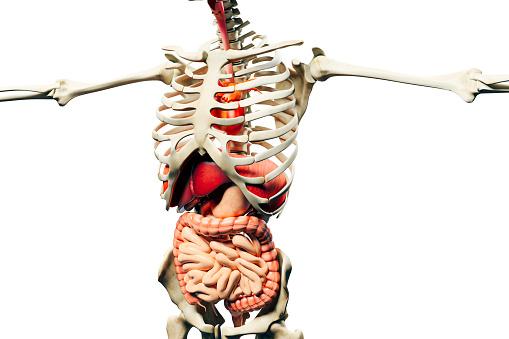 3d man render,  anatomy showing skeleton, muscular system and internal organs
