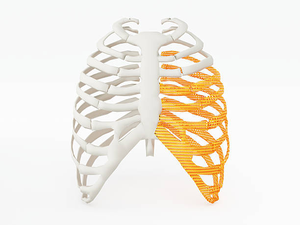 3d printed rib cage 3d printed rib cage. 3d printed implants on white background. human rib cage stock pictures, royalty-free photos & images