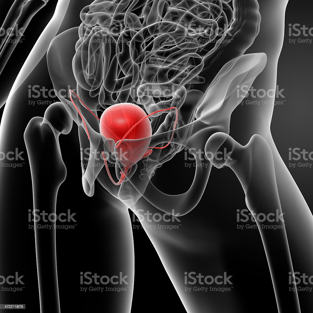 3d render bladder anatomy stock photo