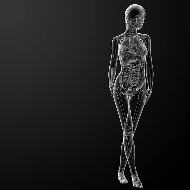 Royalty Free 3d Image Of Inside Human Body With Highlighted Kidneys