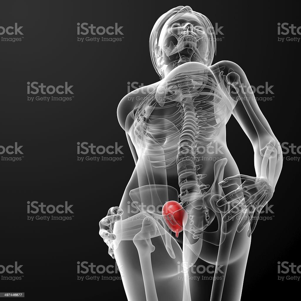 3 D Render Weibliche Blase Anatomie Xray Stock-Fotografie und mehr ...